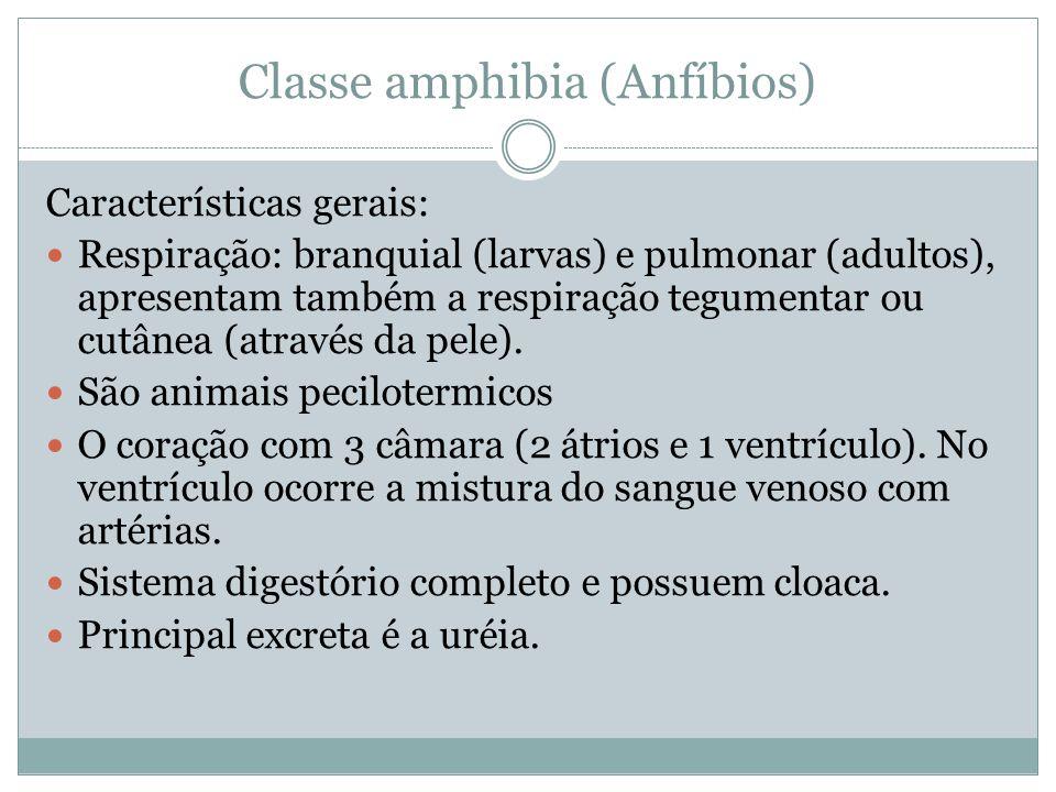Classe amphibia (Anfíbios) Características gerais: Respiração: branquial (larvas) e pulmonar (adultos), apresentam também a respiração tegumentar ou c