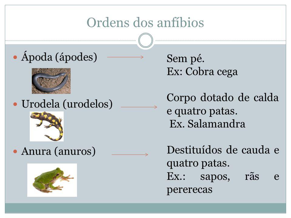 Ordens dos anfíbios Ápoda (ápodes) Urodela (urodelos) Anura (anuros) Sem pé. Ex: Cobra cega Corpo dotado de calda e quatro patas. Ex. Salamandra Desti