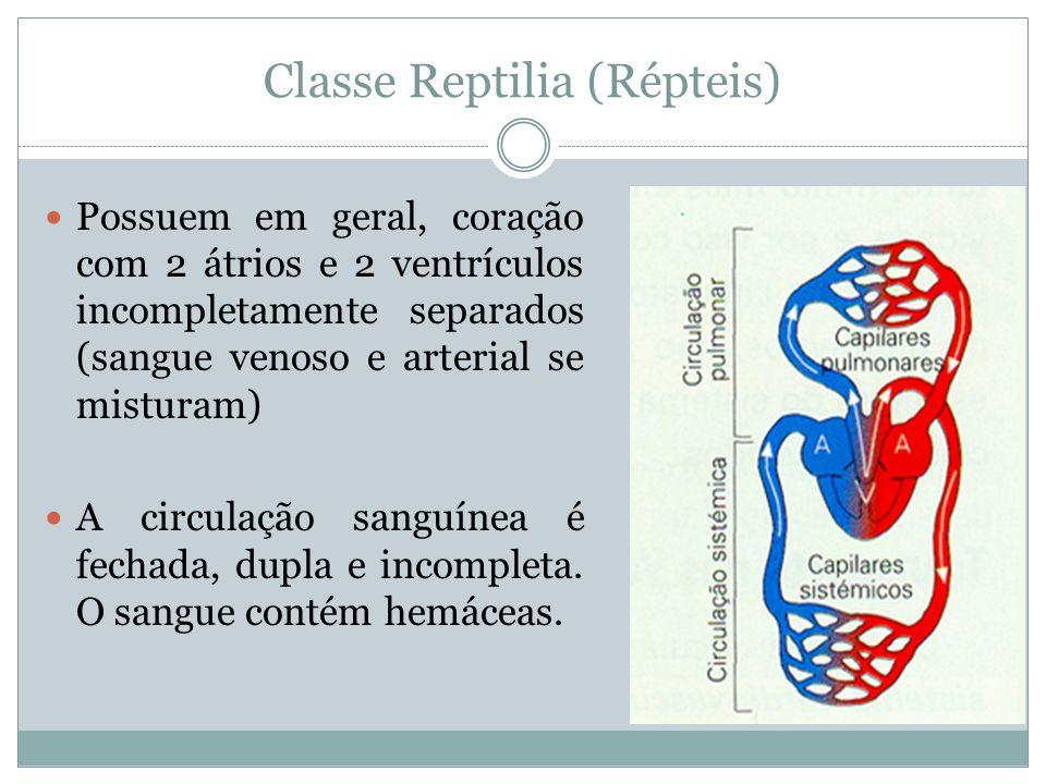 Classe Reptilia (Répteis) Possuem em geral, coração com 2 átrios e 2 ventrículos incompletamente separados (sangue venoso e arterial se misturam) A ci