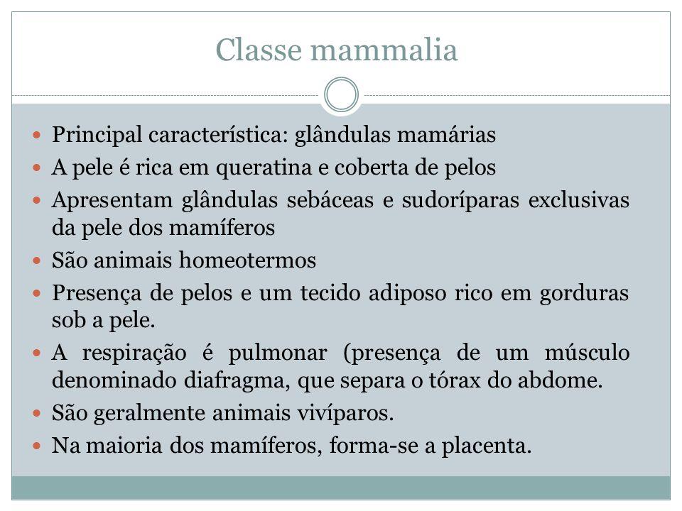 Classe mammalia Principal característica: glândulas mamárias A pele é rica em queratina e coberta de pelos Apresentam glândulas sebáceas e sudoríparas