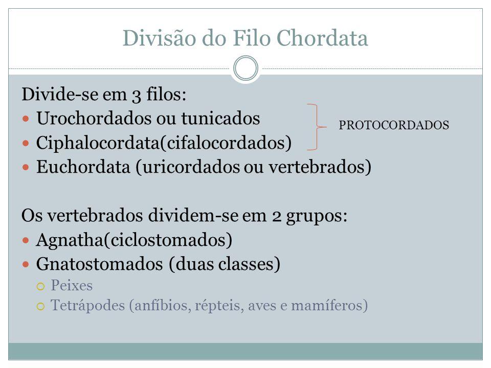 Divisão do Filo Chordata Divide-se em 3 filos: Urochordados ou tunicados Ciphalocordata(cifalocordados) Euchordata (uricordados ou vertebrados) Os ver