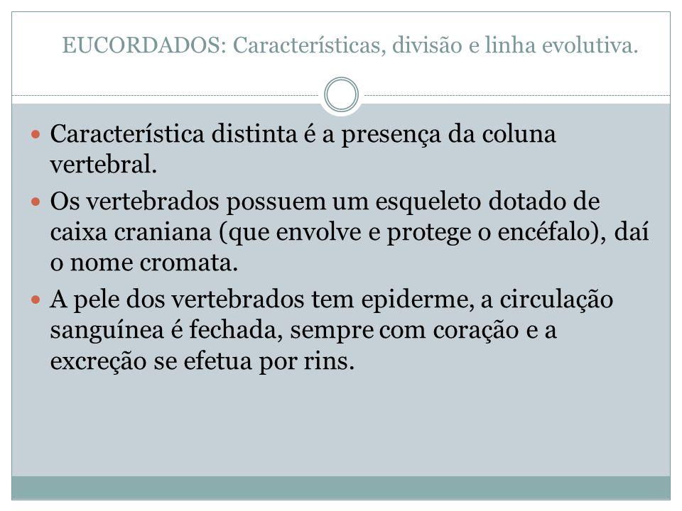 EUCORDADOS: Características, divisão e linha evolutiva. Característica distinta é a presença da coluna vertebral. Os vertebrados possuem um esqueleto