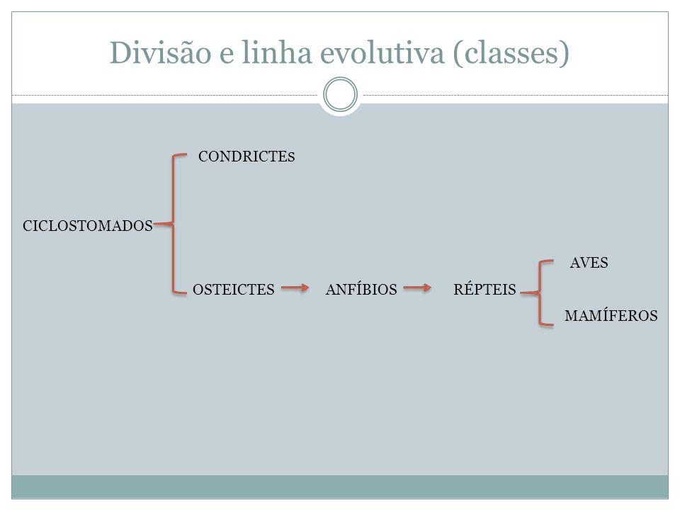Divisão e linha evolutiva (classes) CICLOSTOMADOS CONDRICTE S OSTEICTESANFÍBIOSRÉPTEIS AVES MAMÍFEROS