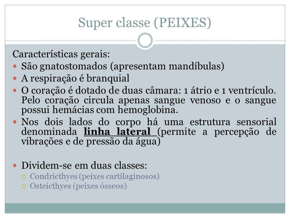 Super classe (PEIXES) Características gerais: São gnatostomados (apresentam mandíbulas) A respiração é branquial O coração é dotado de duas câmara: 1