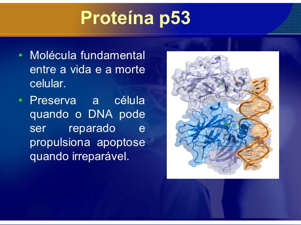 Proteína p53 Molécula fundamental entre a vida e a morte celular. Preserva a célula quando o DNA pode ser reparado e propulsiona apoptose quando irrep