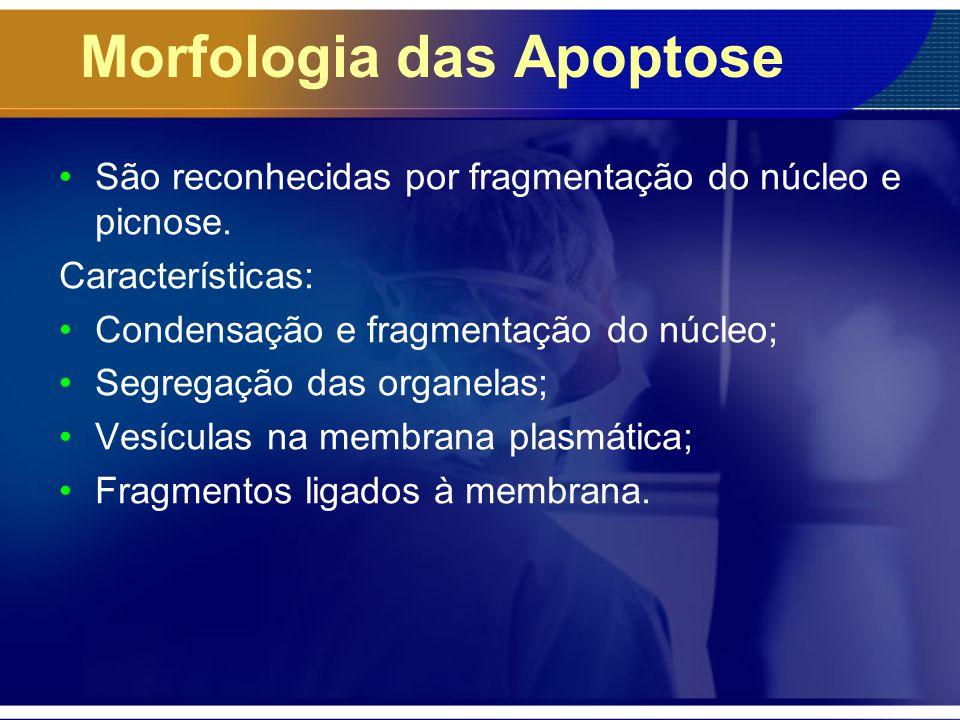 Morfologia das Apoptose São reconhecidas por fragmentação do núcleo e picnose. Características: Condensação e fragmentação do núcleo; Segregação das o