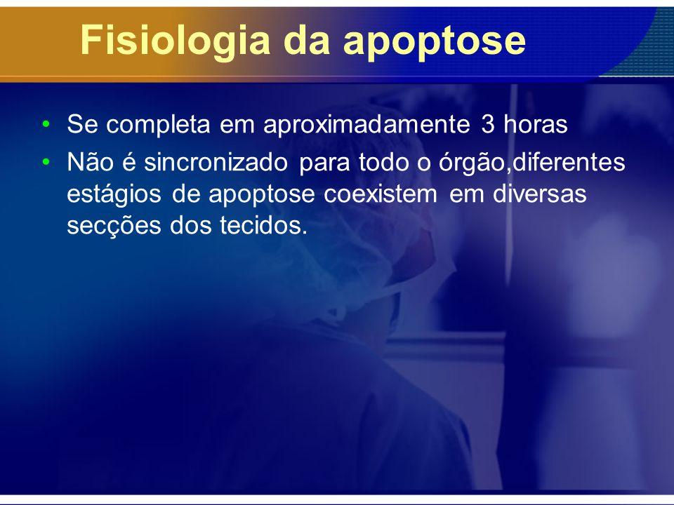 Fisiologia da apoptose Se completa em aproximadamente 3 horas Não é sincronizado para todo o órgão,diferentes estágios de apoptose coexistem em divers