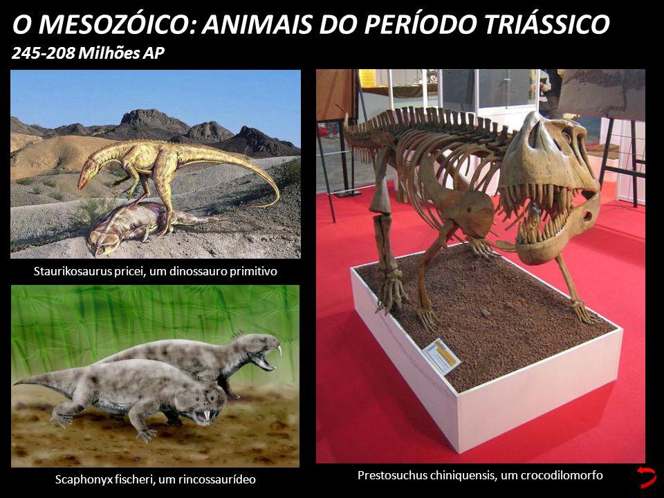 O MESOZÓICO: ANIMAIS DO PERÍODO TRIÁSSICO 245-208 Milhões AP Scaphonyx fischeri, um rincossaurídeo Staurikosaurus pricei, um dinossauro primitivo Pres