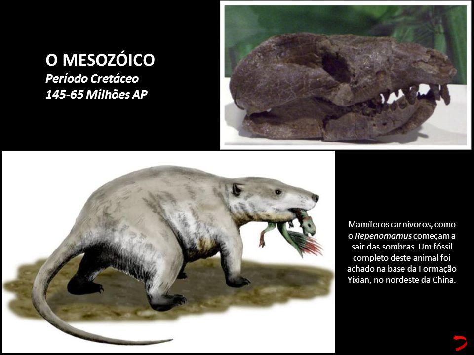 O MESOZÓICO Período Cretáceo 145-65 Milhões AP Mamíferos carnívoros, como o Repenomamus começam a sair das sombras. Um fóssil completo deste animal fo