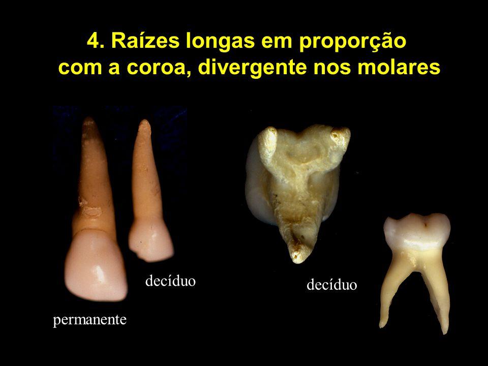 4. Raízes longas em proporção com a coroa, divergente nos molares decíduo permanente