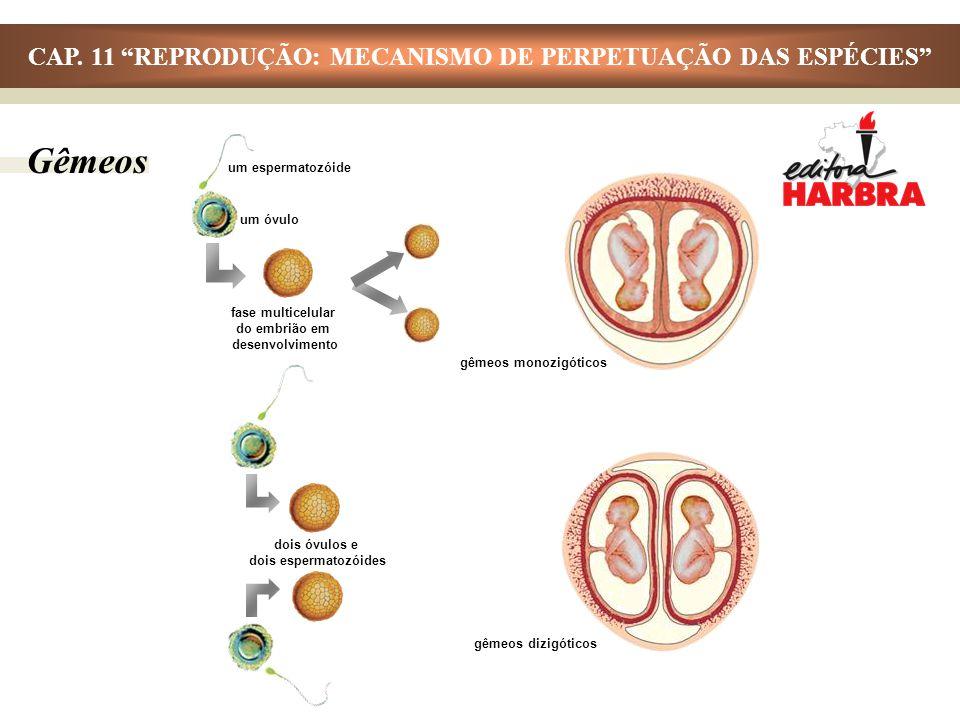 Gêmeos um óvulo um espermatozóide gêmeos monozigóticos fase multicelular do embrião em desenvolvimento gêmeos dizigóticos dois óvulos e dois espermato