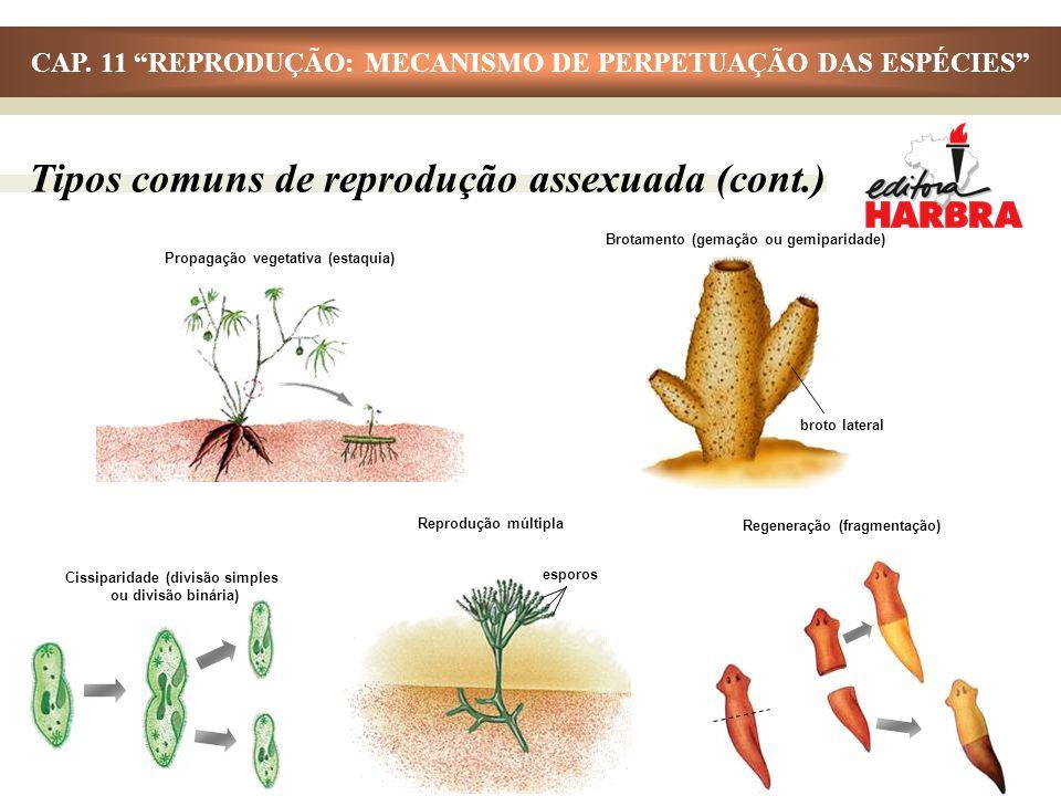 Tipos comuns de reprodução assexuada (cont.) Propagação vegetativa (estaquia) Brotamento (gemação ou gemiparidade) broto lateral Cissiparidade (divisã