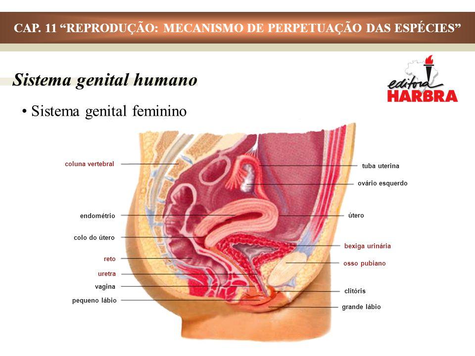 Sistema genital feminino Sistema genital humano coluna vertebral endométrio colo do útero reto uretra vagina pequeno lábio tuba uterina ovário esquerd