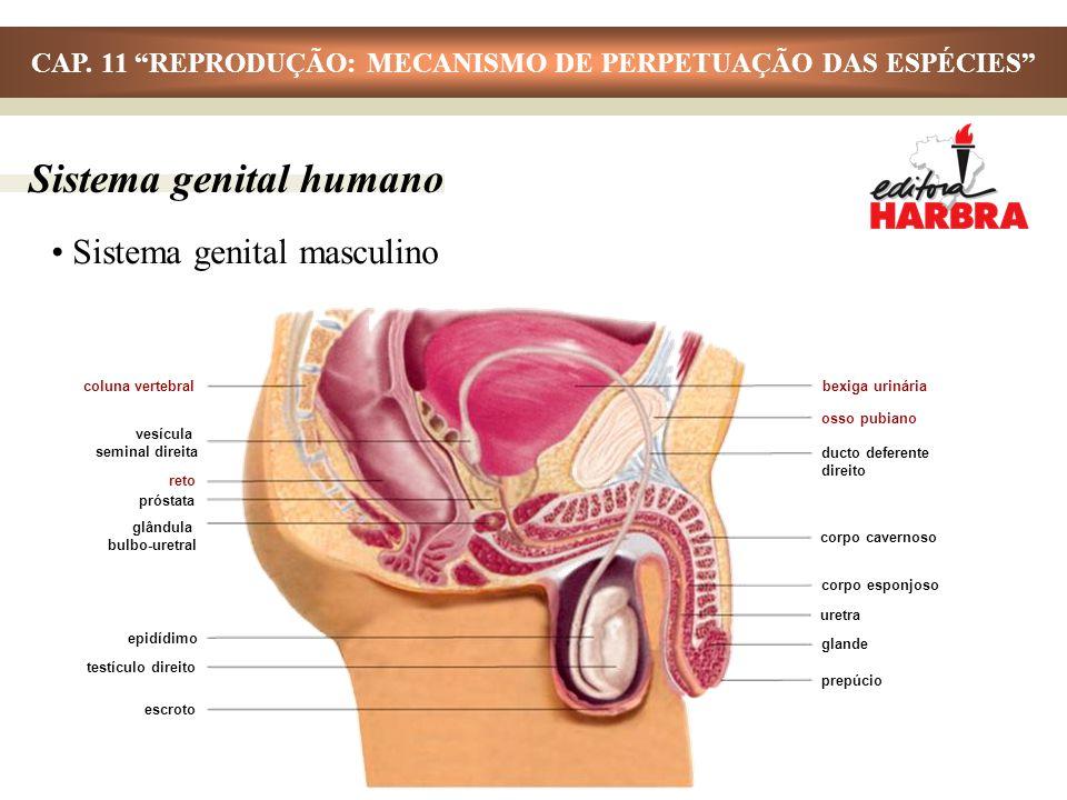 Sistema genital masculino Sistema genital humano coluna vertebral vesícula seminal direita reto próstata glândula bulbo-uretral epidídimo bexiga uriná