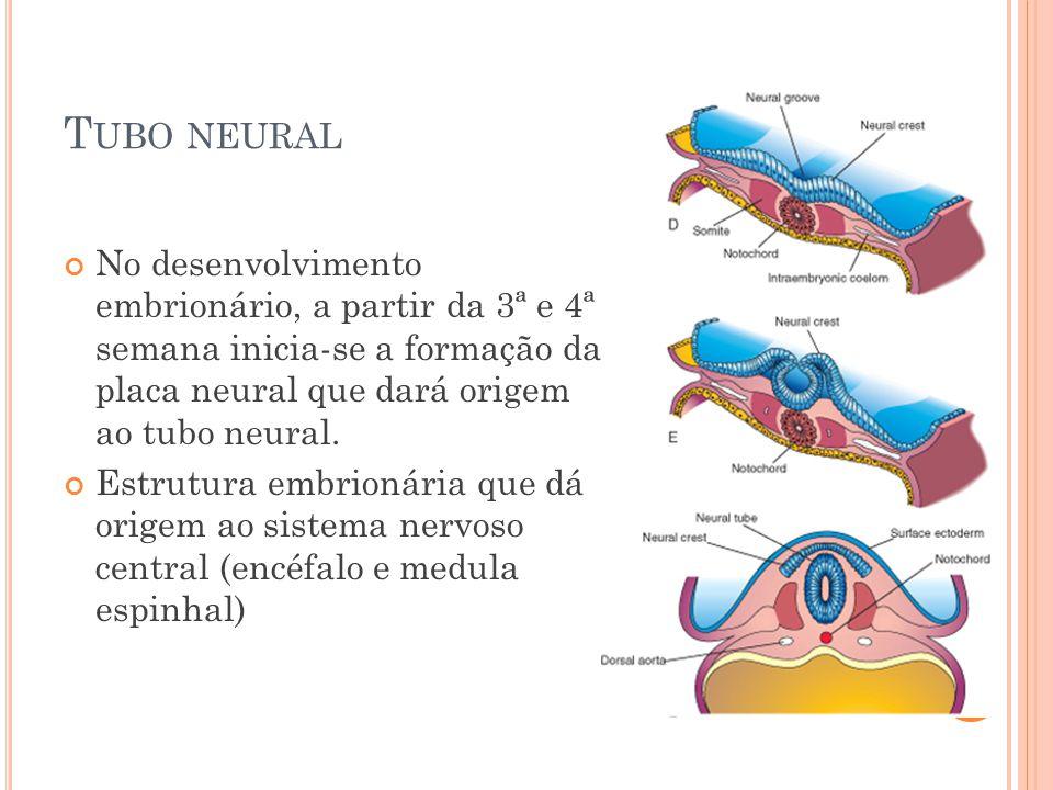 T UBO NEURAL No desenvolvimento embrionário, a partir da 3ª e 4ª semana inicia-se a formação da placa neural que dará origem ao tubo neural.