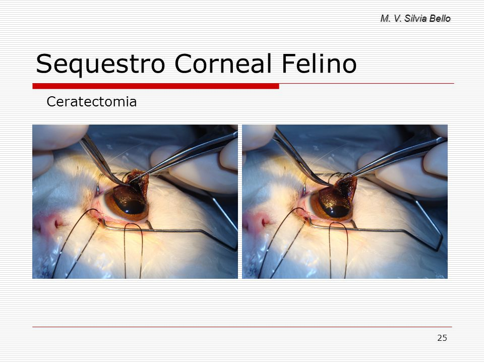 M. V. Silvia Bello 25 Sequestro Corneal Felino Ceratectomia