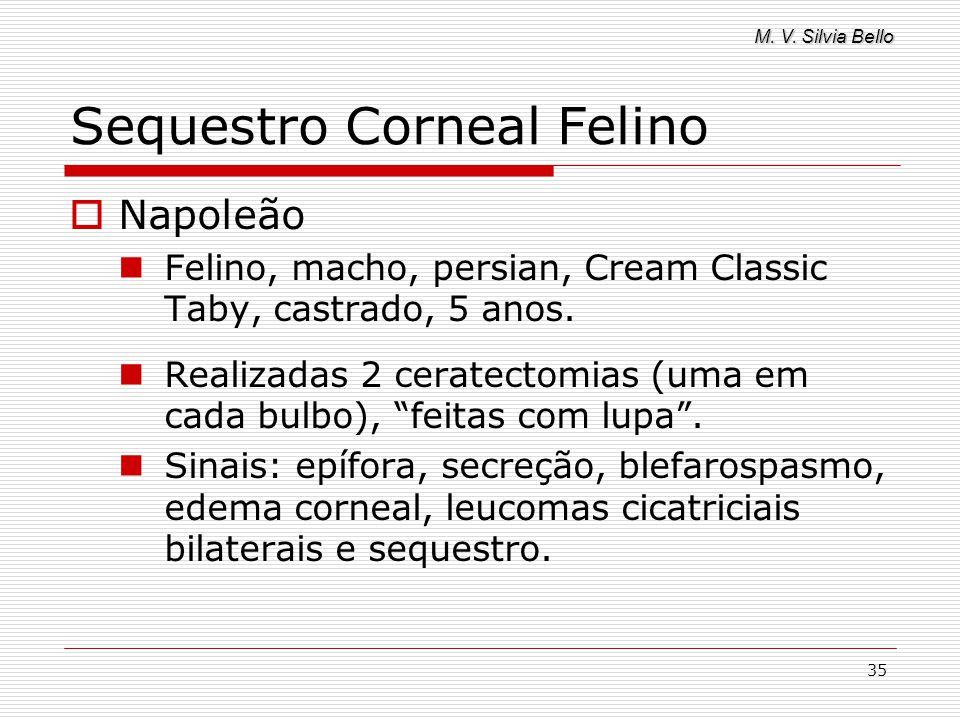 M. V. Silvia Bello 35 Sequestro Corneal Felino Napoleão Felino, macho, persian, Cream Classic Taby, castrado, 5 anos. Realizadas 2 ceratectomias (uma