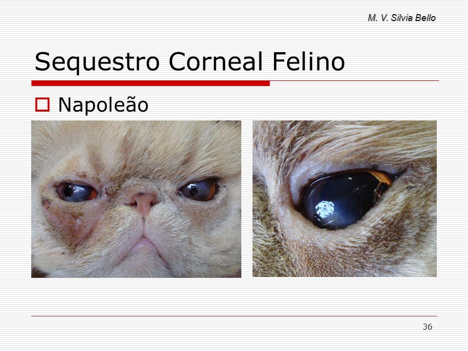 M. V. Silvia Bello 36 Sequestro Corneal Felino Napoleão