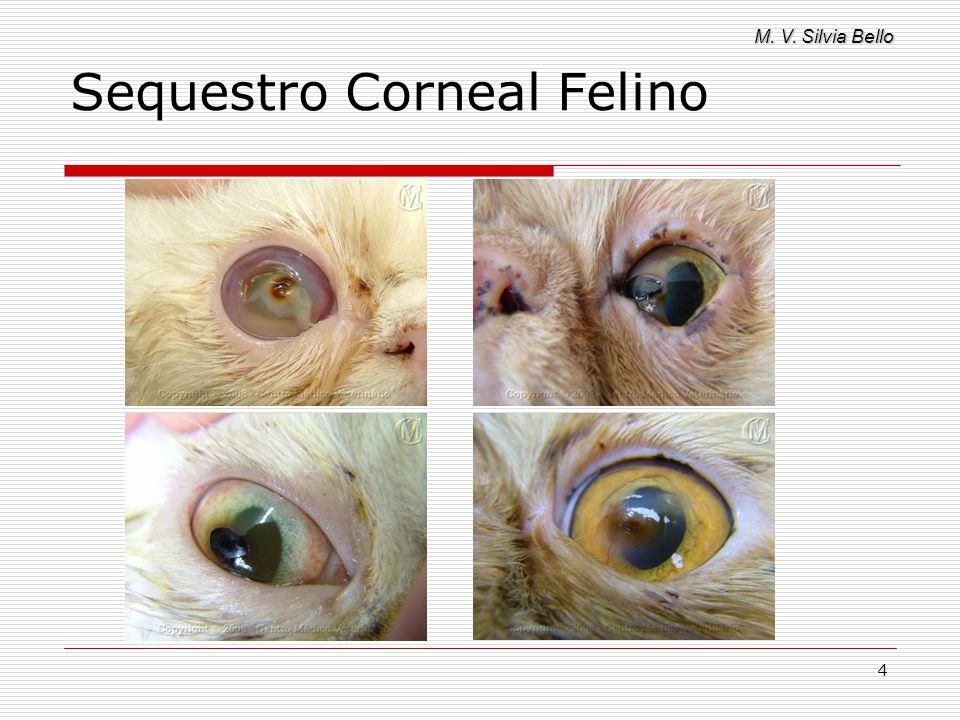 M. V. Silvia Bello 25 Sequestro Corneal Felino Ceratectomia