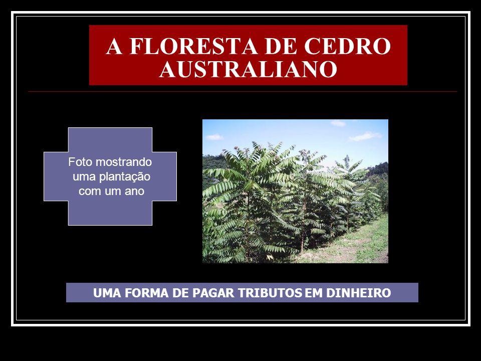 A FLORESTA DE CEDRO AUSTRALIANO UMA FORMA DE PAGAR TRIBUTOS EM DINHEIRO Foto mostrando uma plantação com um ano