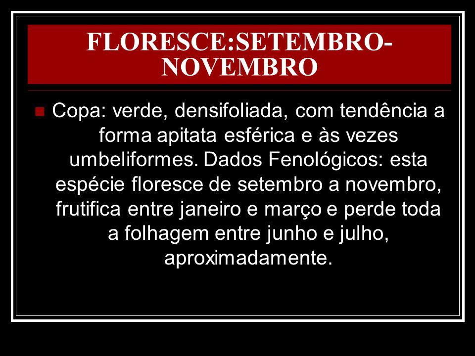 FLORESCE:SETEMBRO- NOVEMBRO Copa: verde, densifoliada, com tendência a forma apitata esférica e às vezes umbeliformes. Dados Fenológicos: esta espécie