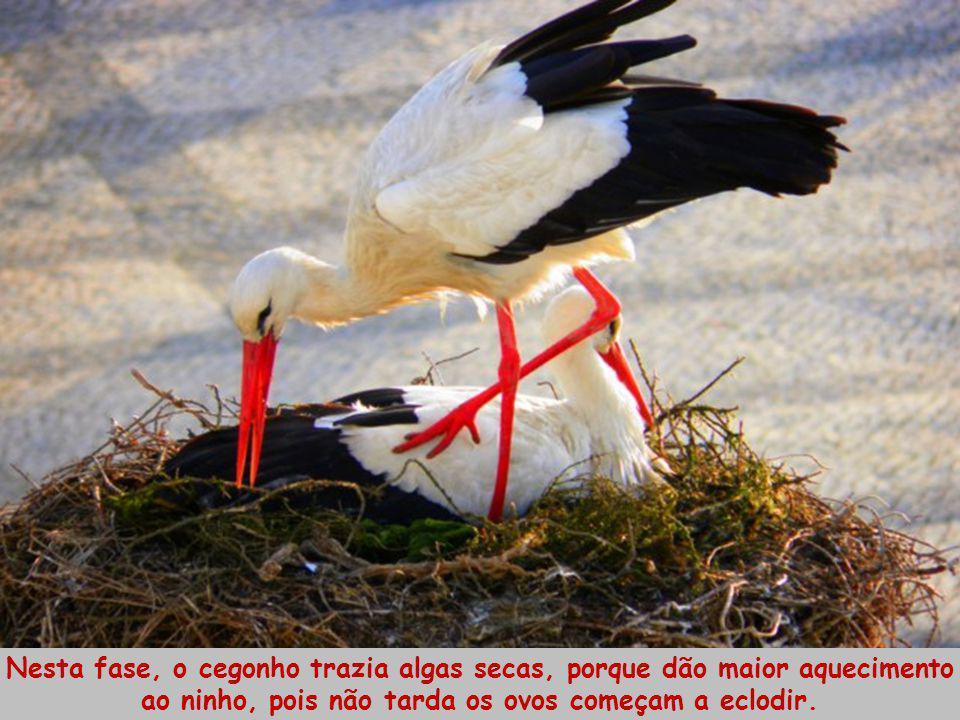 Quer em dias de chuva, de ventos fortes ou de temporais, a cegonha mantinha-se no ninho, muito quieta a chocar os seus preciosos ovos, com ar de sedut