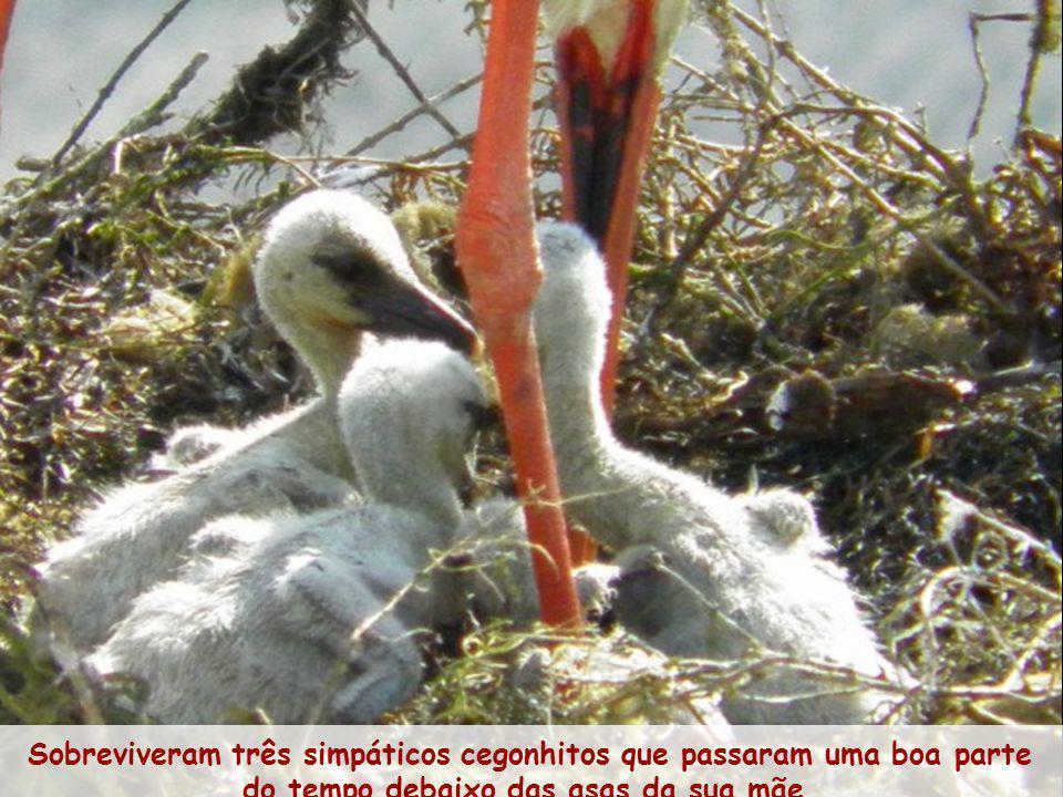 A 10 de Março eclode o primeiro ovo e nos dois dias seguintes, os restantes.