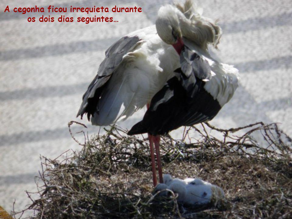 A 3 de Maio, um dos cegonhitos não conseguiu sobreviver aos ventos fortes e morreu. A mãe cegonha, com o bico, colocou-o na lateral do ninho.