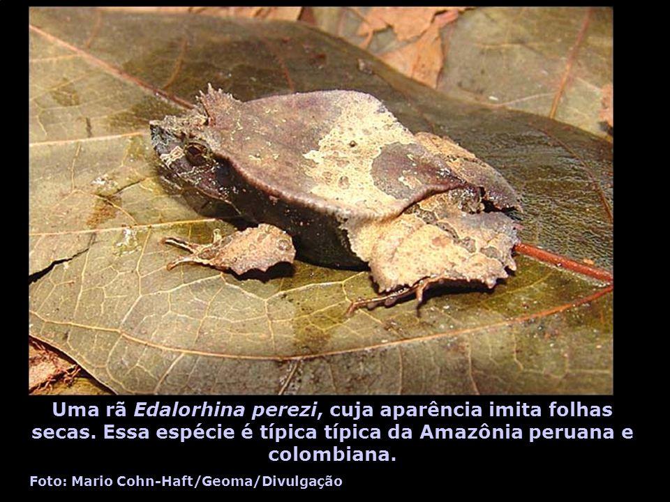 Uma rã Edalorhina perezi, cuja aparência imita folhas secas. Essa espécie é típica típica da Amazônia peruana e colombiana. Foto: Mario Cohn-Haft/Geom