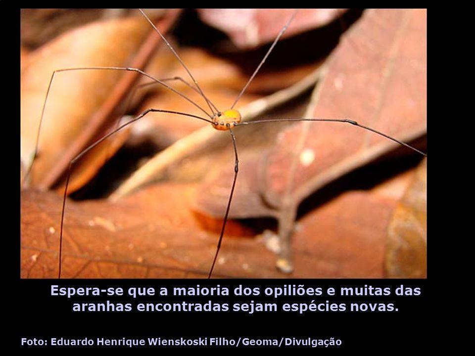 Espera-se que a maioria dos opiliões e muitas das aranhas encontradas sejam espécies novas. Foto: Eduardo Henrique Wienskoski Filho/Geoma/Divulgação