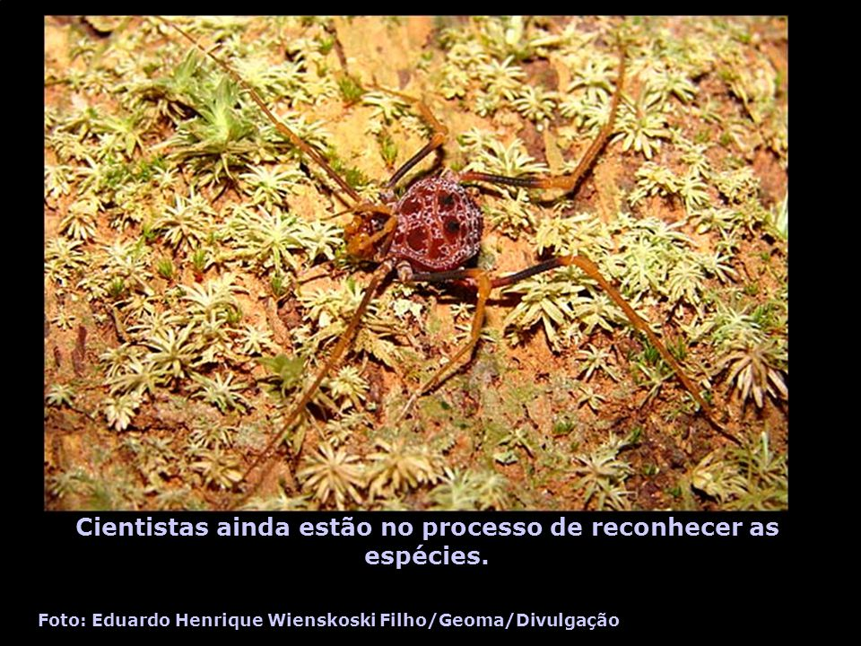 Cientistas ainda estão no processo de reconhecer as espécies. Foto: Eduardo Henrique Wienskoski Filho/Geoma/Divulgação