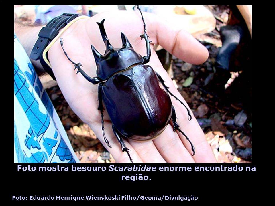 Foto mostra besouro Scarabidae enorme encontrado na região. Foto: Eduardo Henrique Wienskoski Filho/Geoma/Divulgação