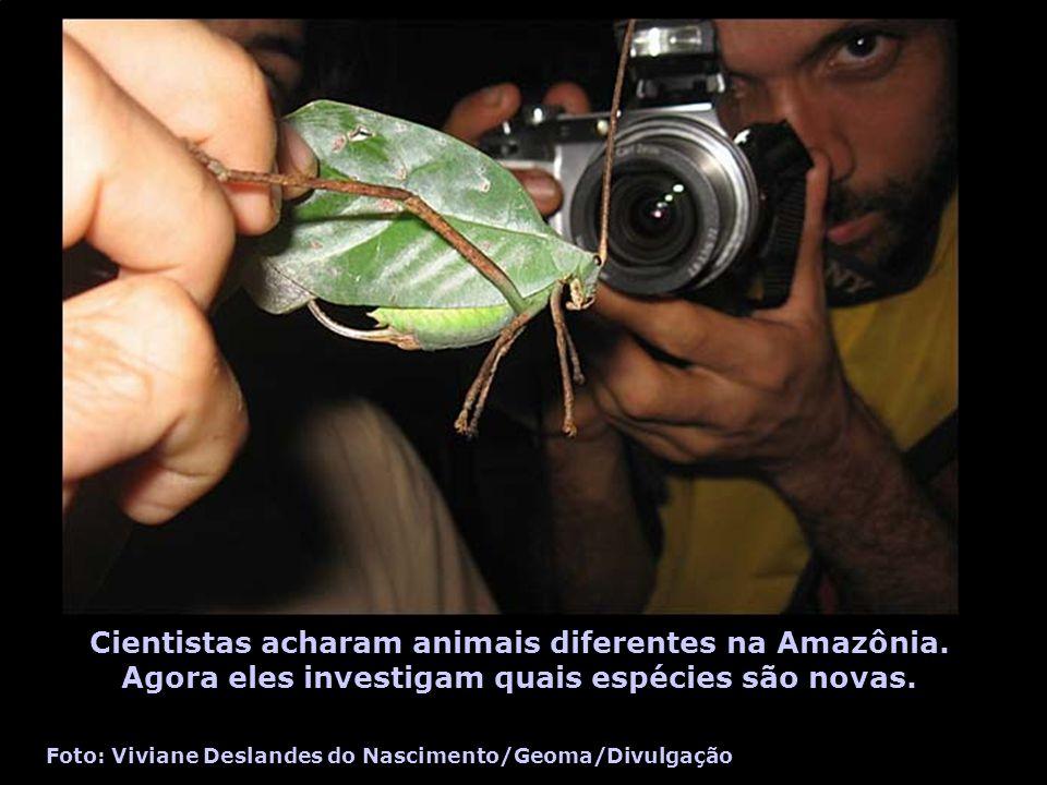 Cientistas acharam animais diferentes na Amazônia. Agora eles investigam quais espécies são novas. Foto: Viviane Deslandes do Nascimento/Geoma/Divulga