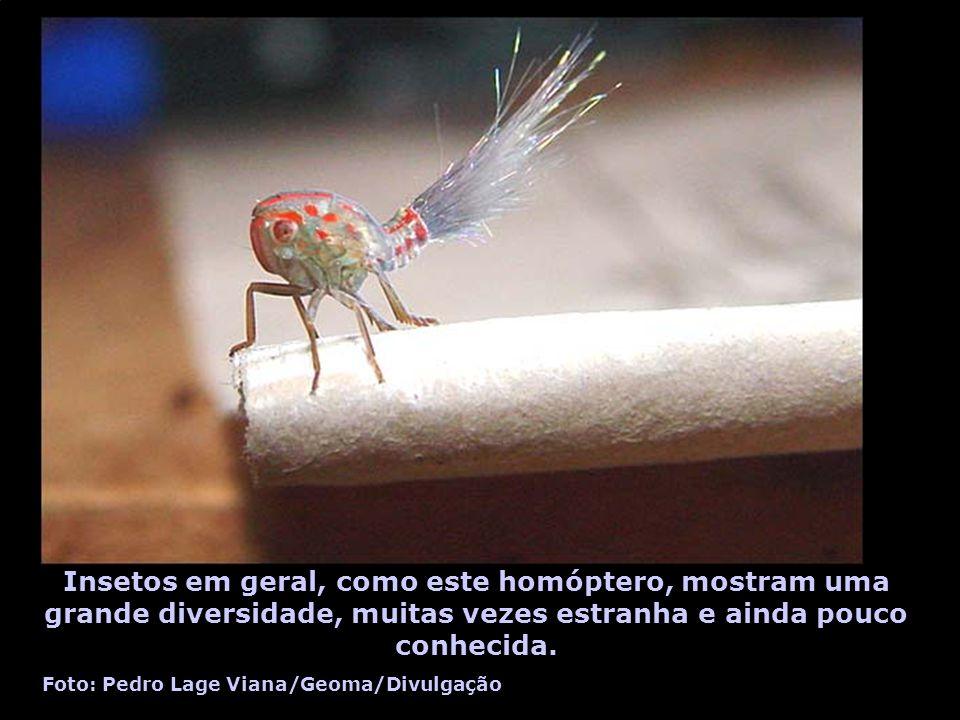 Insetos em geral, como este homóptero, mostram uma grande diversidade, muitas vezes estranha e ainda pouco conhecida. Foto: Pedro Lage Viana/Geoma/Div