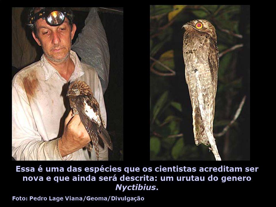 Essa é uma das espécies que os cientistas acreditam ser nova e que ainda será descrita: um urutau do genero Nyctibius. Foto: Pedro Lage Viana/Geoma/Di