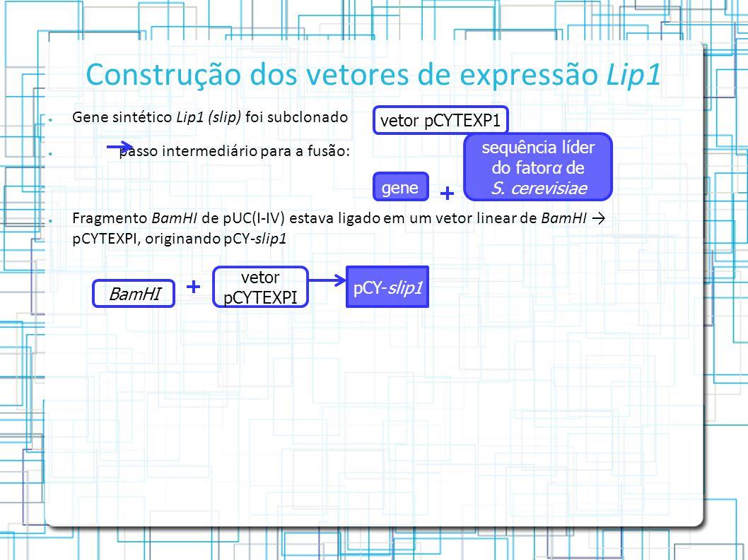 Construção dos vetores de expressão Lip1 Gene sintético Lip1 (slip) foi subclonado passo intermediário para a fusão: Fragmento BamHI de pUC(I-IV) estava ligado em um vetor linear de BamHI pCYTEXPI, originando pCY-slip1 vetor pCYTEXP1 sequência líder do fator α de S.