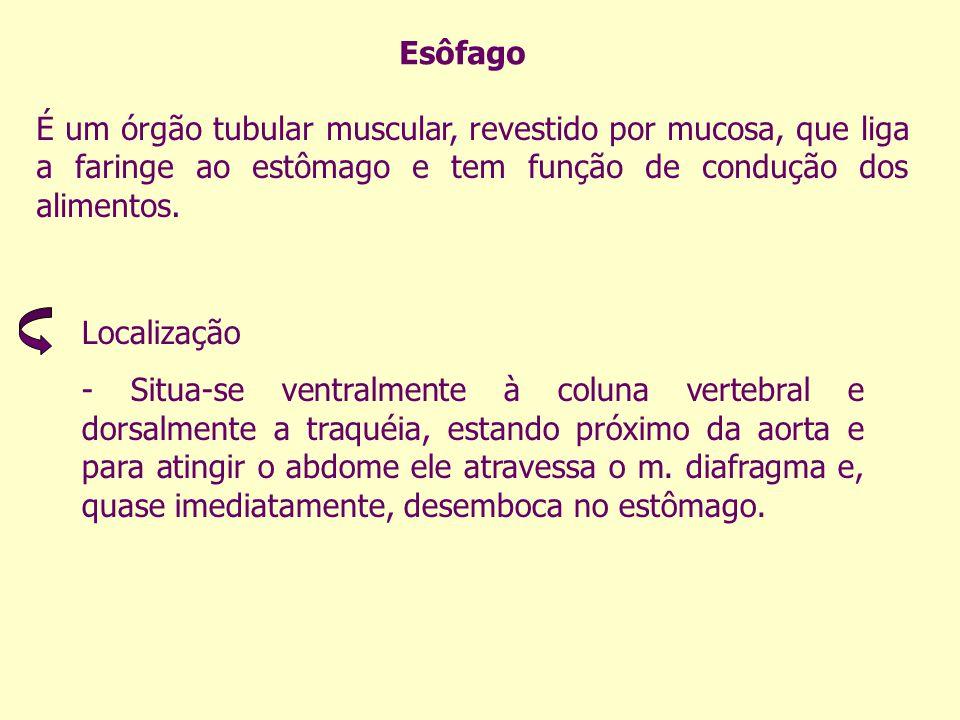 Esôfago É um órgão tubular muscular, revestido por mucosa, que liga a faringe ao estômago e tem função de condução dos alimentos. Localização - Situa-