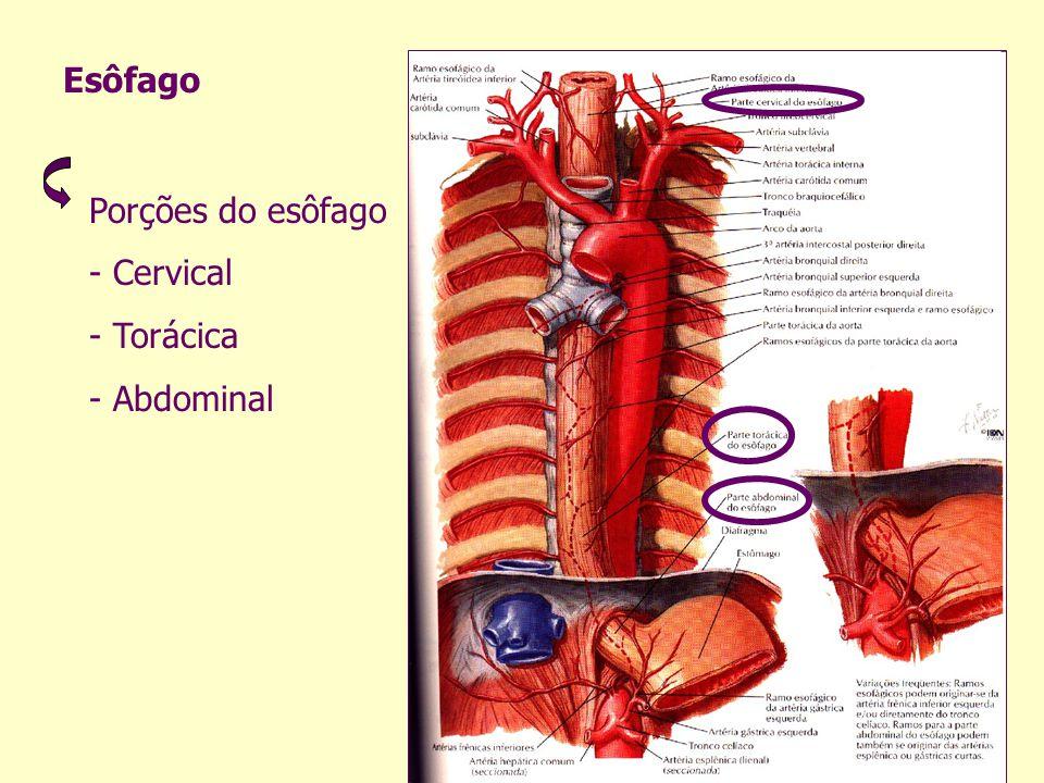 Esôfago Porções do esôfago - Cervical - Torácica - Abdominal