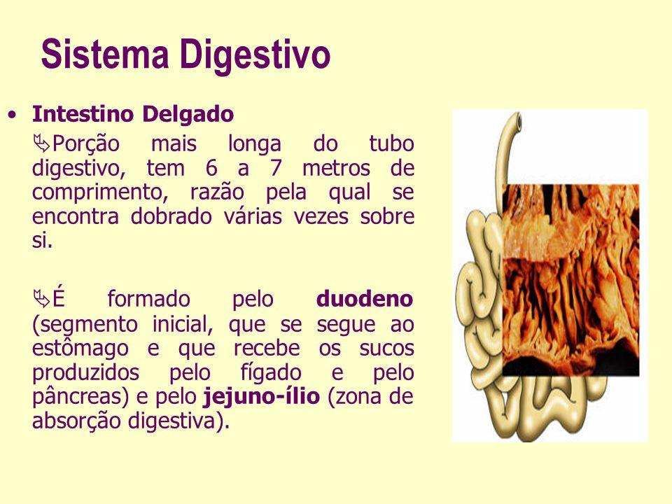 Sistema Digestivo Intestino Delgado Porção mais longa do tubo digestivo, tem 6 a 7 metros de comprimento, razão pela qual se encontra dobrado várias v