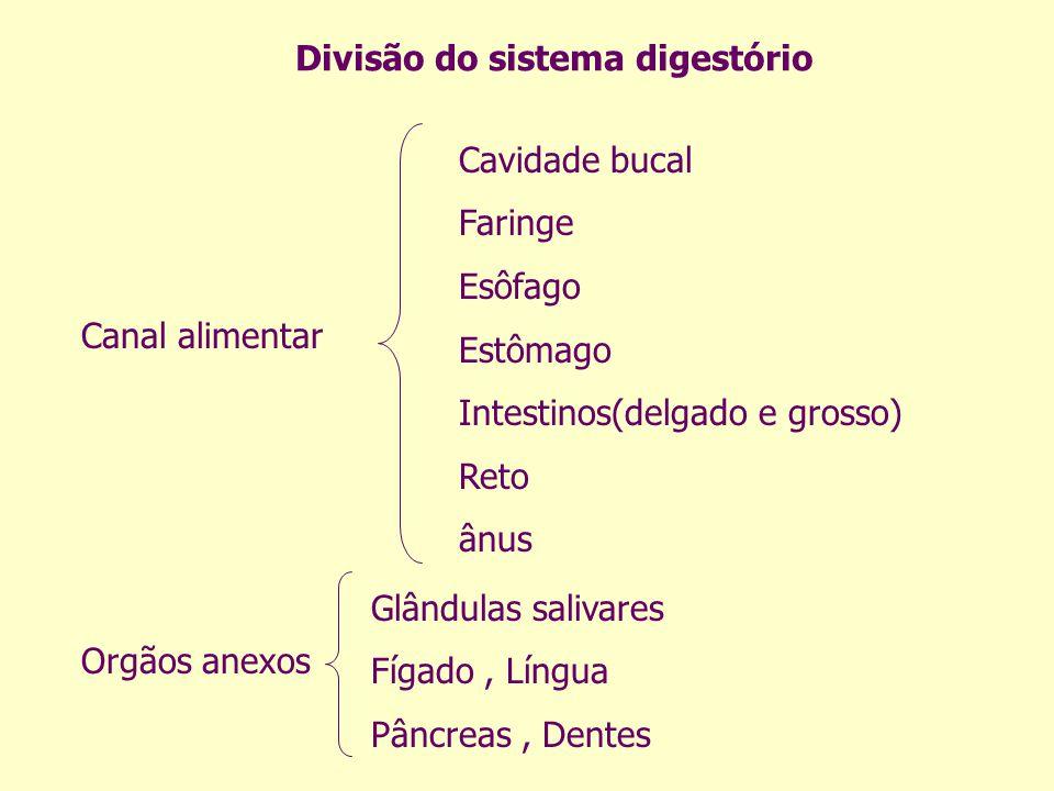 Divisão do sistema digestório Canal alimentar Orgãos anexos Cavidade bucal Faringe Esôfago Estômago Intestinos(delgado e grosso) Reto ânus Glândulas s