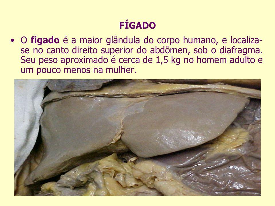 FÍGADO O fígado é a maior glândula do corpo humano, e localiza- se no canto direito superior do abdômen, sob o diafragma. Seu peso aproximado é cerca