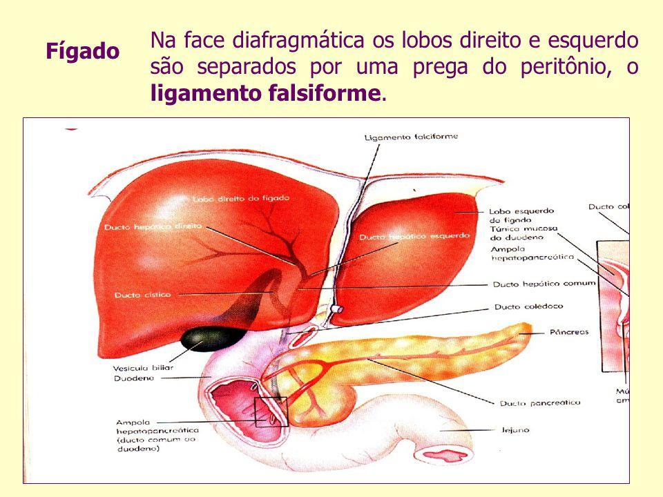 Na face diafragmática os lobos direito e esquerdo são separados por uma prega do peritônio, o ligamento falsiforme. Fígado