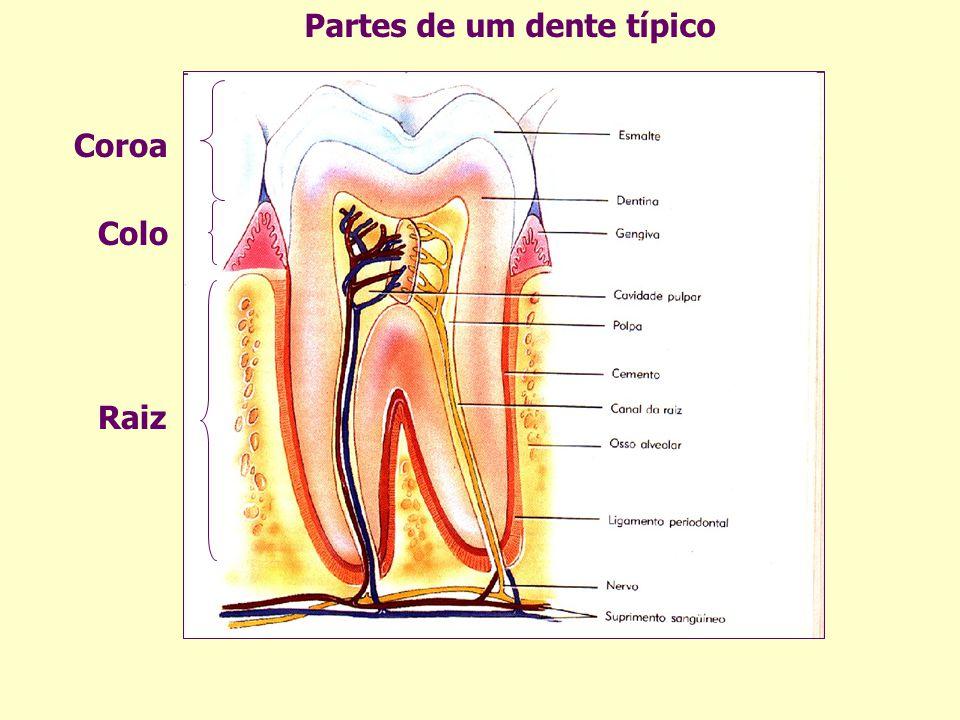 Partes de um dente típico Coroa Colo Raiz