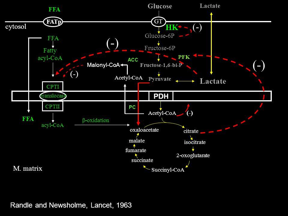 FFA Fatty acyl-CoA CPTI CPTII translocase acyl-CoA -oxidation FATp GT Glucose-6P Fructose-6P Fructose-1,6-bi-P PFK Glucose Pyruvate cytosol M. matrix