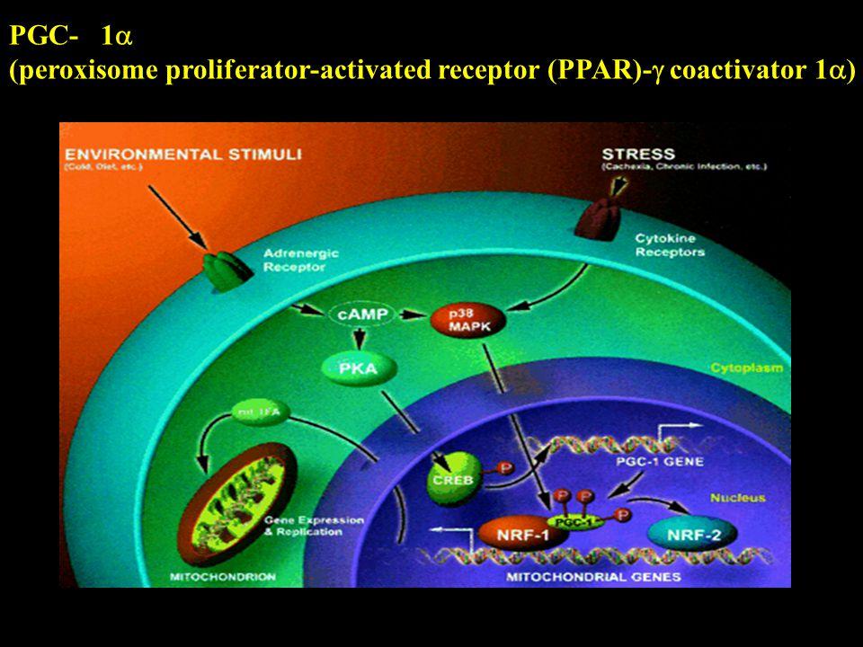 Puigserver P & Spiegelman BM (2003). Endoc Reviews 24, 78-90. PGC- 1 (peroxisome proliferator-activated receptor (PPAR)- coactivator 1 )