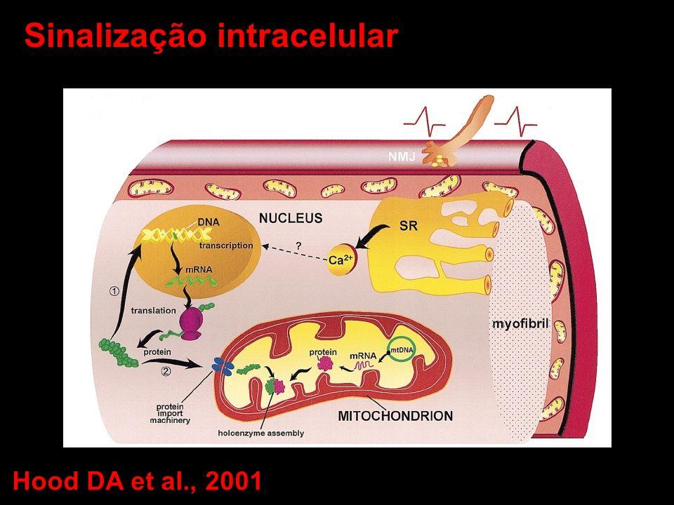 Sinalização intracelular Hood DA et al., 2001