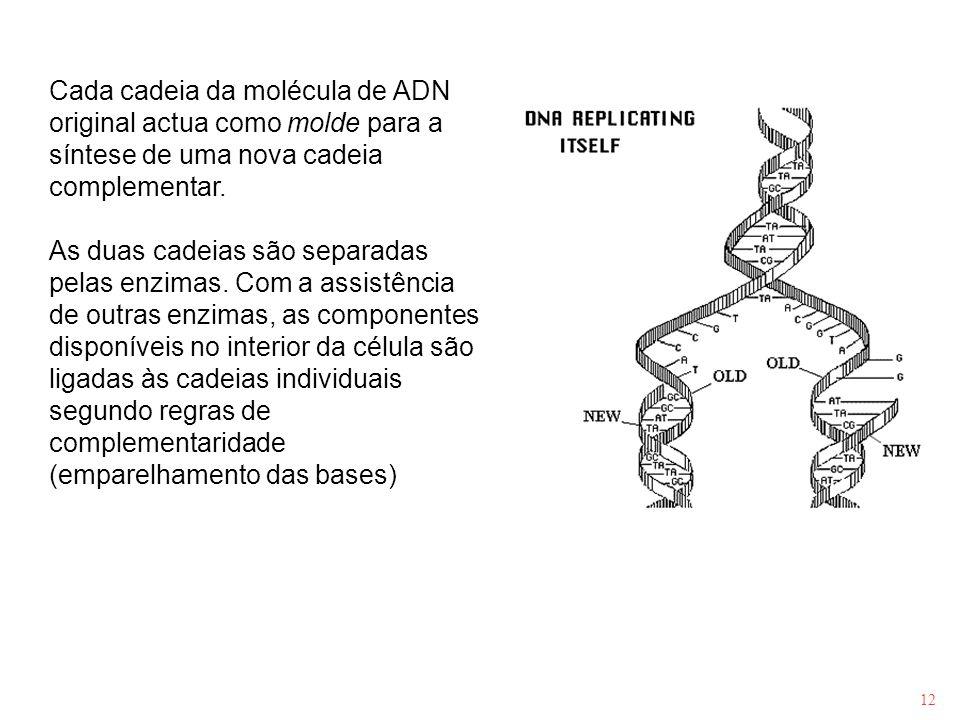 12 Cada cadeia da molécula de ADN original actua como molde para a síntese de uma nova cadeia complementar. As duas cadeias são separadas pelas enzima