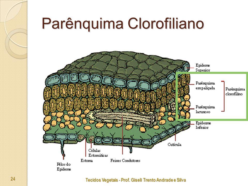 Tecidos Vegetais - Prof. Giseli Trento Andrade e Silva 24 Parênquima Clorofiliano