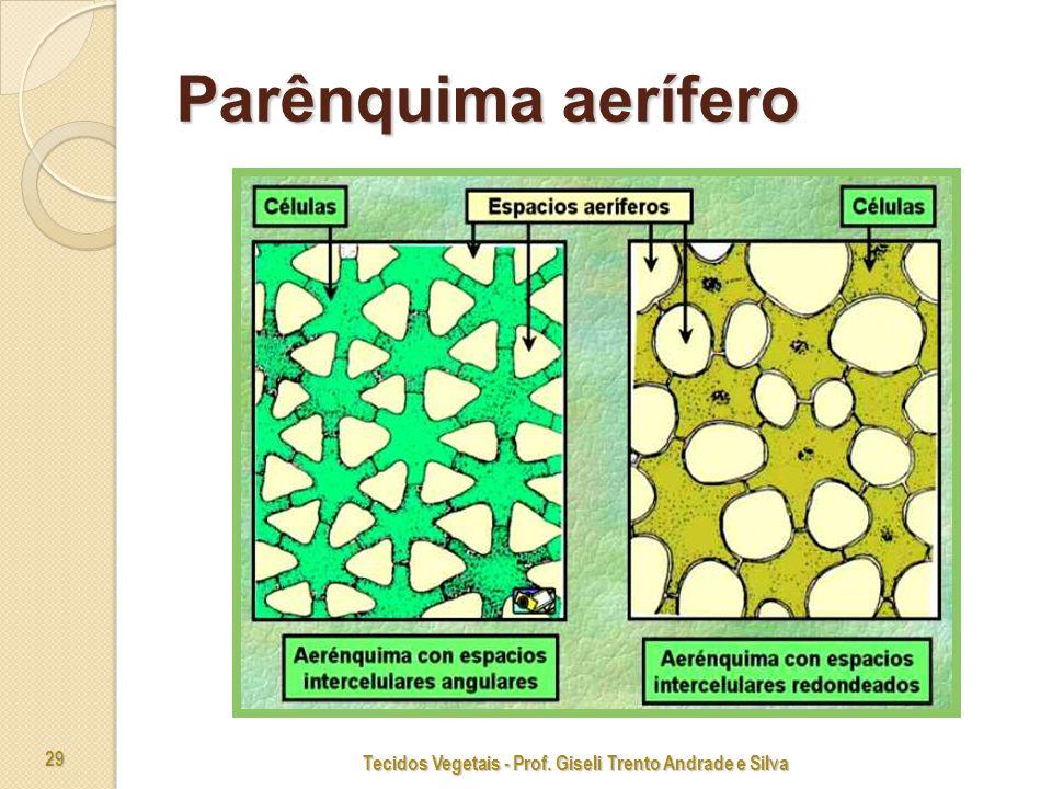 Tecidos Vegetais - Prof. Giseli Trento Andrade e Silva 29 Parênquima aerífero