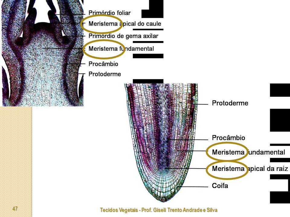 Tecidos Vegetais - Prof. Giseli Trento Andrade e Silva 47